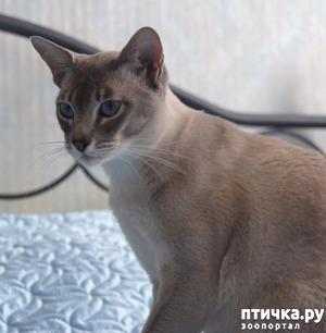 фото: Окрасы тонкинских кошек