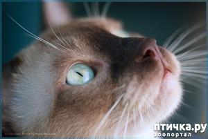фото: Окрасы тонкинских кошек - подробнее