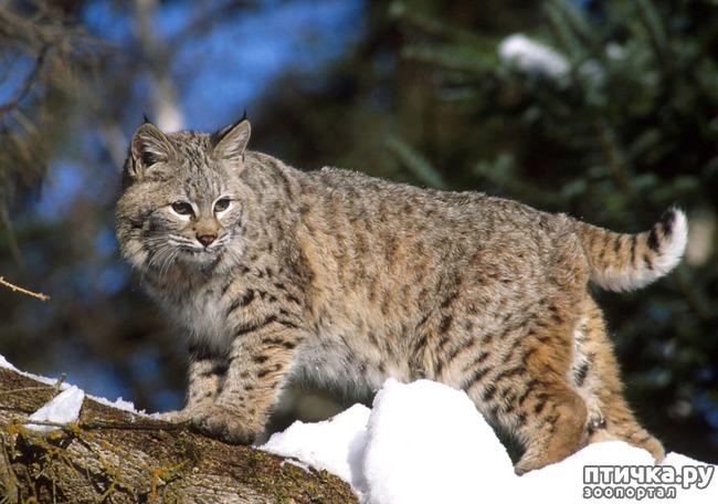 фото 1: ПИКСИ-БОБ (pixie-bob) – загадочная кошка из американских легенд.
