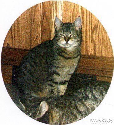 фото 2: ПИКСИ-БОБ (pixie-bob) – загадочная кошка из американских легенд.