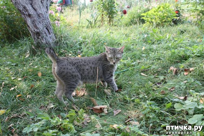 фото 3: ПИКСИ-БОБ (pixie-bob) – загадочная кошка из американских легенд.