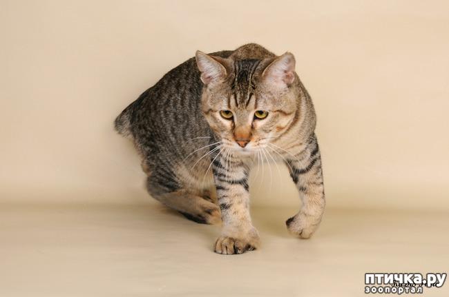 фото 4: ПИКСИ-БОБ (pixie-bob) – загадочная кошка из американских легенд.