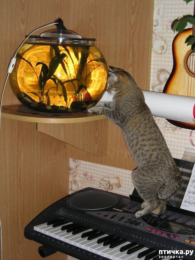 фото 6: ПИКСИ-БОБ (pixie-bob) – загадочная кошка из американских легенд.