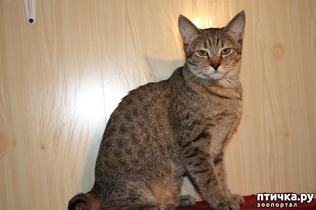 фото 7: ПИКСИ-БОБ (pixie-bob) – загадочная кошка из американских легенд.