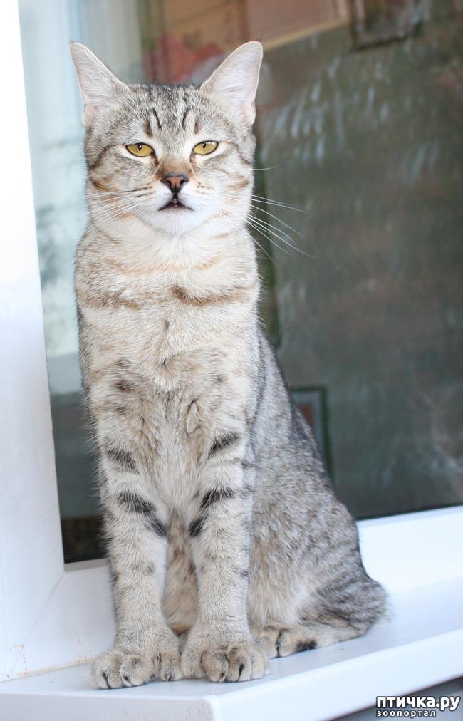 фото 8: ПИКСИ-БОБ (pixie-bob) – загадочная кошка из американских легенд.