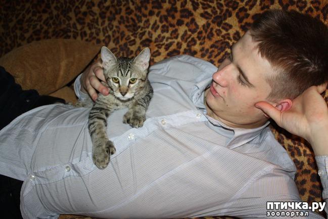 фото 9: ПИКСИ-БОБ (pixie-bob) – загадочная кошка из американских легенд.