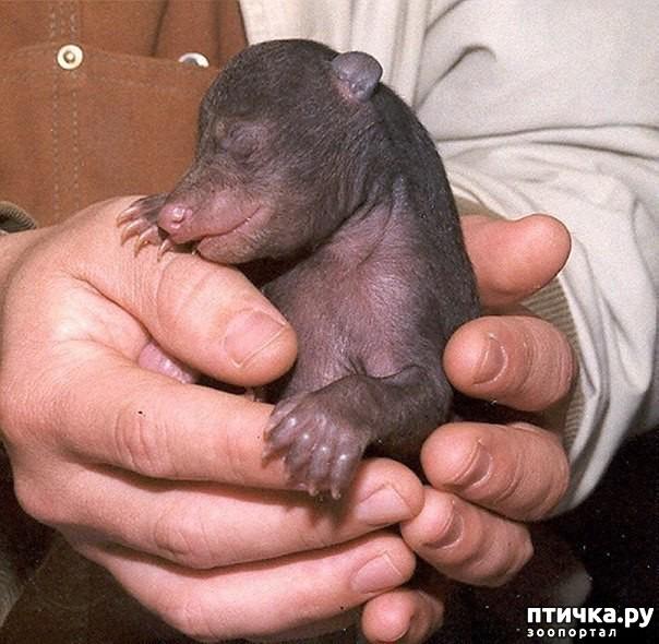 фото 1: Новорожденный медвежонок