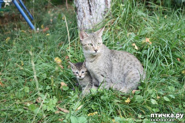 фото 13: ПИКСИ-БОБ (pixie-bob) – загадочная кошка из американских легенд.