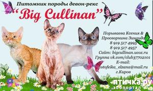 "фото: Питомник ""Big Cullinan"" - Кто такой девон-рекс."