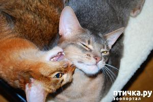 фото: Сомалийские коты вам прибавят доброты и в любую непогоду солнца в доме будет луч © АК