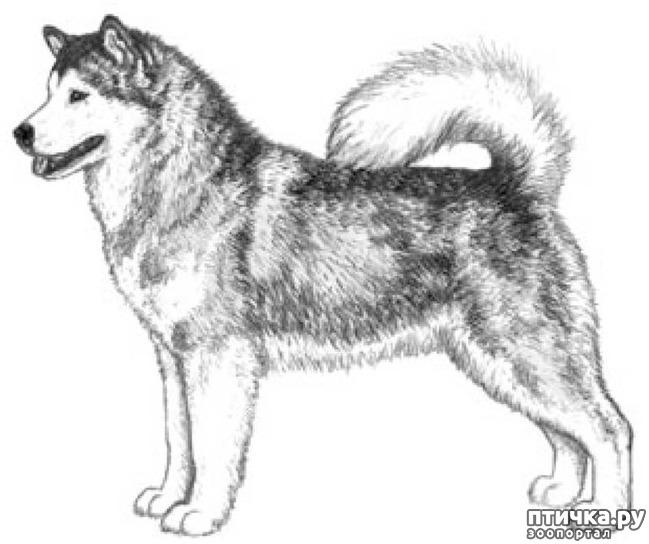 фото 2: Иллюстрированный стандарт породы Аляскинский Маламут