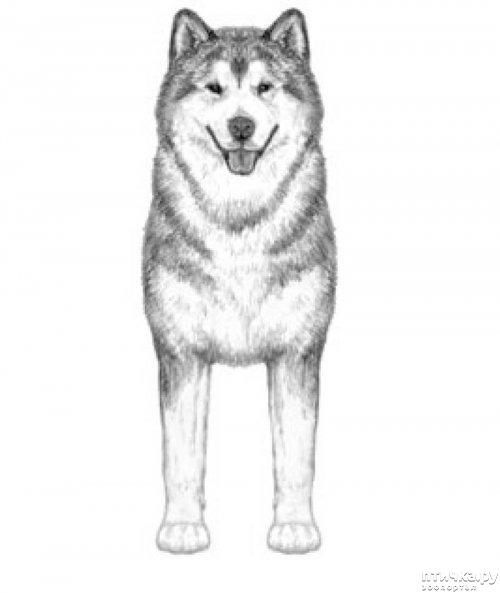 фото 3: Иллюстрированный стандарт породы Аляскинский Маламут