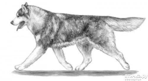 фото 4: Иллюстрированный стандарт породы Аляскинский Маламут