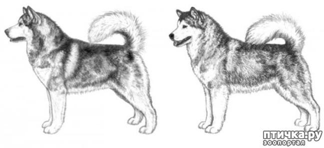 фото 5: Иллюстрированный стандарт породы Аляскинский Маламут