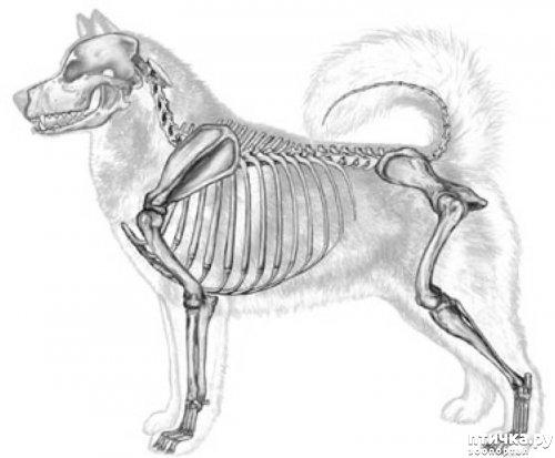 фото 6: Иллюстрированный стандарт породы Аляскинский Маламут