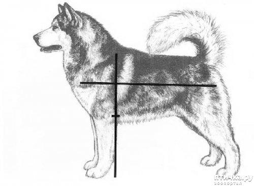 фото 7: Иллюстрированный стандарт породы Аляскинский Маламут