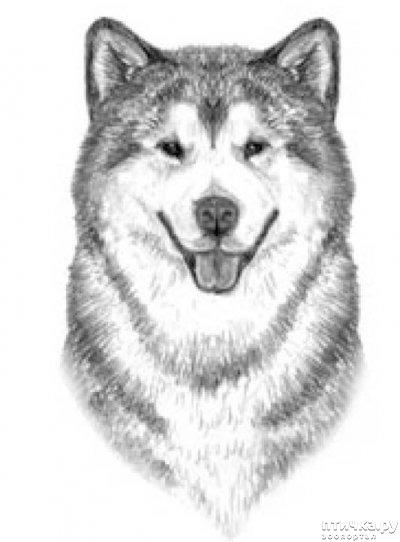 фото 8: Иллюстрированный стандарт породы Аляскинский Маламут
