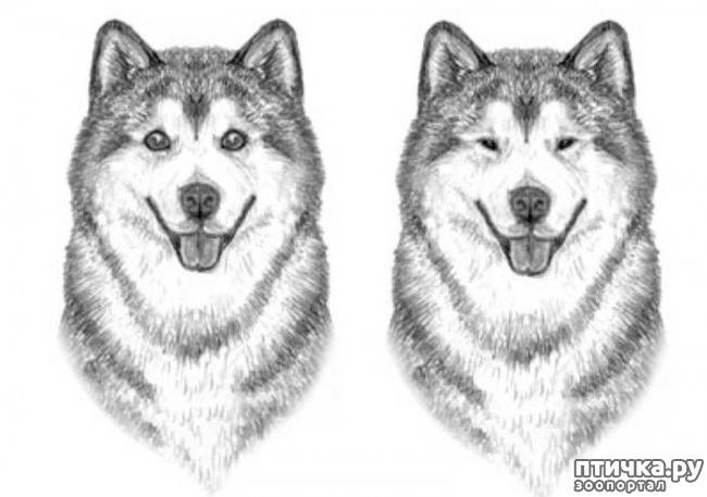 фото 9: Иллюстрированный стандарт породы Аляскинский Маламут
