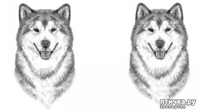 фото 10: Иллюстрированный стандарт породы Аляскинский Маламут