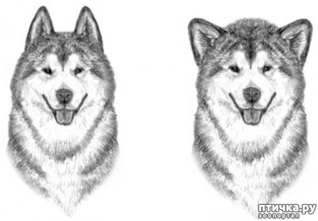 фото 11: Иллюстрированный стандарт породы Аляскинский Маламут