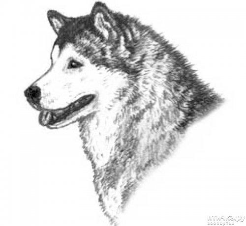 фото 12: Иллюстрированный стандарт породы Аляскинский Маламут