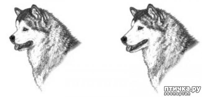 фото 13: Иллюстрированный стандарт породы Аляскинский Маламут