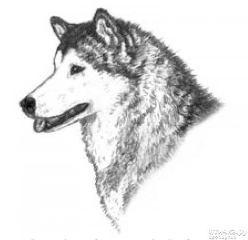 фото 14: Иллюстрированный стандарт породы Аляскинский Маламут