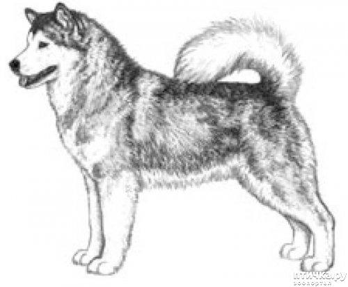 фото 16: Иллюстрированный стандарт породы Аляскинский Маламут