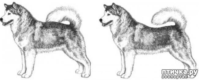 фото 18: Иллюстрированный стандарт породы Аляскинский Маламут