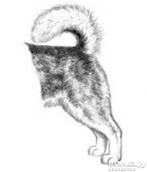 фото 19: Иллюстрированный стандарт породы Аляскинский Маламут