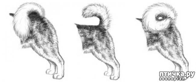 фото 20: Иллюстрированный стандарт породы Аляскинский Маламут