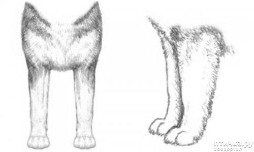 фото 21: Иллюстрированный стандарт породы Аляскинский Маламут