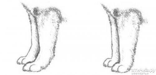 фото 22: Иллюстрированный стандарт породы Аляскинский Маламут