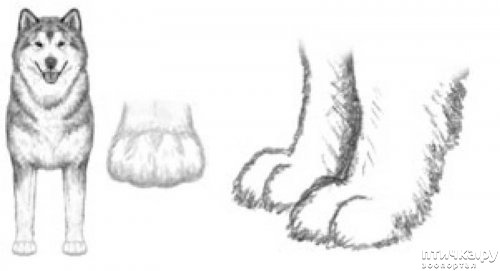 фото 23: Иллюстрированный стандарт породы Аляскинский Маламут