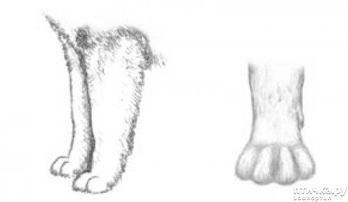 фото 24: Иллюстрированный стандарт породы Аляскинский Маламут