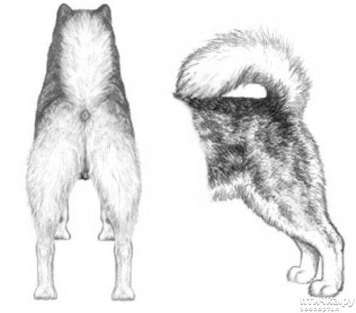 фото 25: Иллюстрированный стандарт породы Аляскинский Маламут