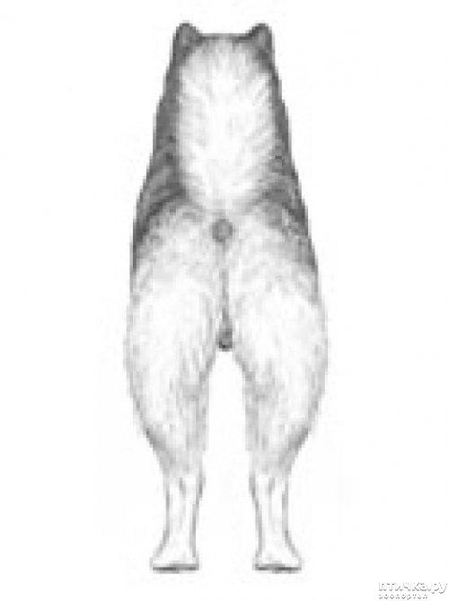 фото 26: Иллюстрированный стандарт породы Аляскинский Маламут
