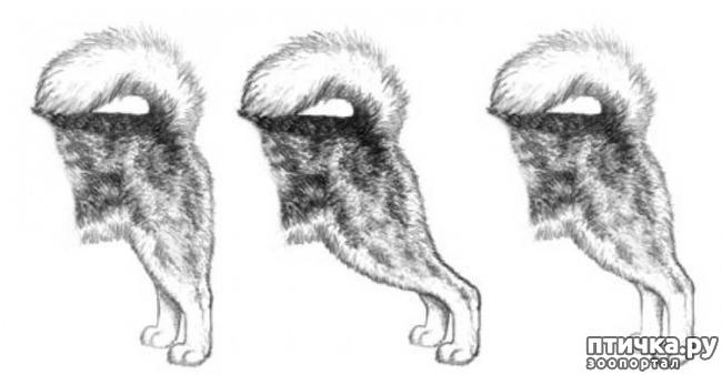 фото 27: Иллюстрированный стандарт породы Аляскинский Маламут