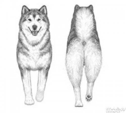 фото 32: Иллюстрированный стандарт породы Аляскинский Маламут