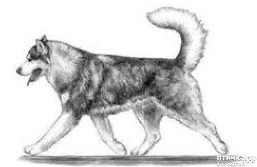 фото 33: Иллюстрированный стандарт породы Аляскинский Маламут
