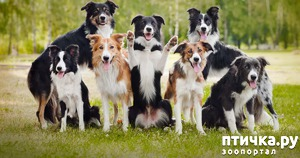 фото: Бордер Колли - самые умные собаки в мире!