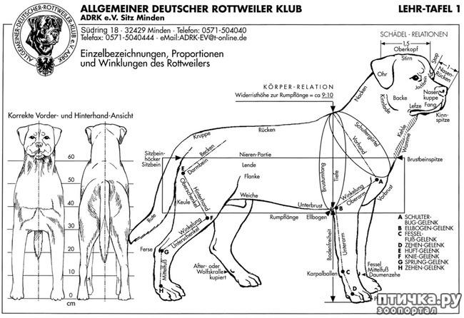 фото 1: Стандарт породы ротвейлер. FCI № 147 от 19.06.2000 г.