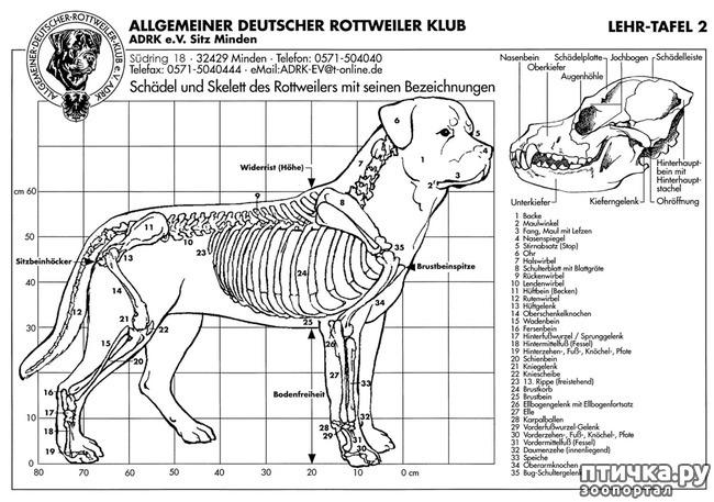 фото 2: Стандарт породы ротвейлер. FCI № 147 от 19.06.2000 г.