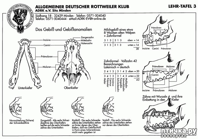 фото 3: Стандарт породы ротвейлер. FCI № 147 от 19.06.2000 г.