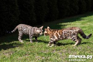 фото: Питомник бенгальских кошек в Санкт-Петербурге.
