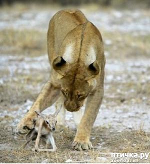фото: Был телёнком, а станет - львёнок...