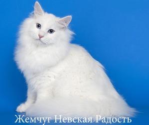 фото: Жемчуг Невская Радость оф Ангел Невы