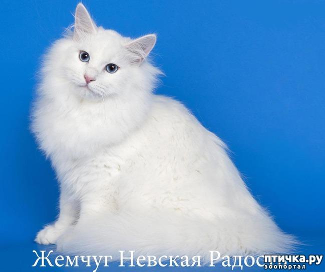 фото 1: Жемчуг Невская Радость оф Ангел Невы