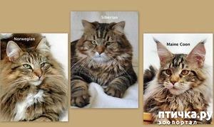 фото: Так выглядят норвежская кошка, сибирская кошка, мейн-кун.