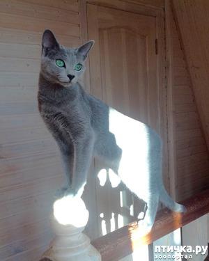 фото: Глаза русской голубой кошки